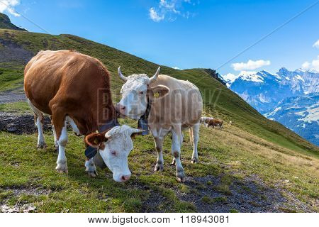 Cows On Bernese Oberland