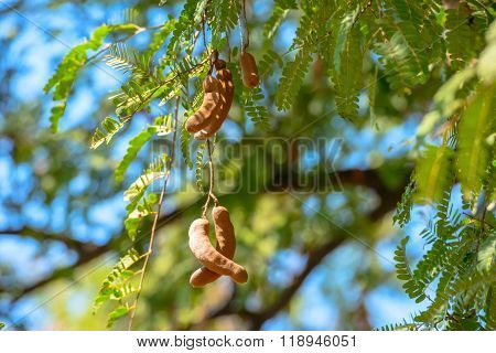 Branch Of Tamarind On Green Bright Background In Nature