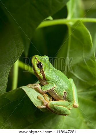 Green Tree Frog Hiding In Foliage