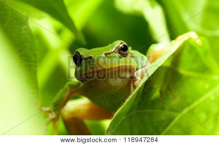 Green Frog Curious Look