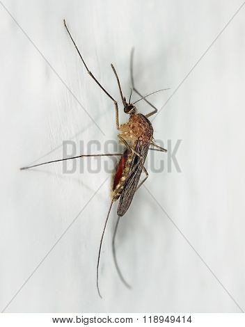 Mosquito Hanging On A Wall After A Meal