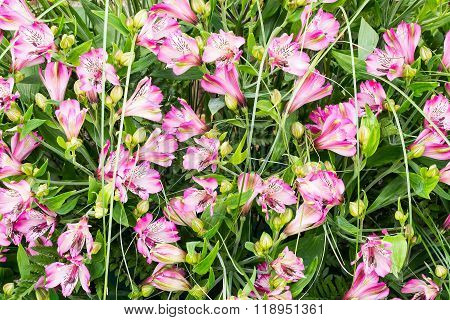 Bright Colorful Background Of Pink Alstroemeria