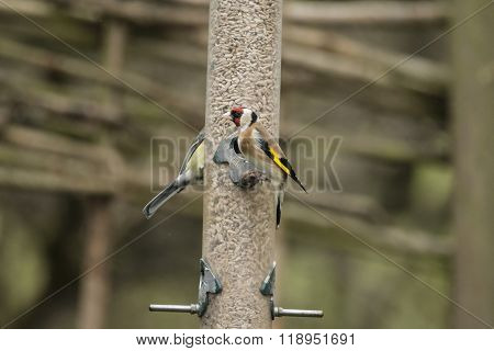 Beautiful Goldfinch Carduelius Carduelis On Feeder In Garden