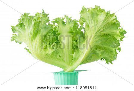 Fresh Green Oak Lettuce In Green Pot