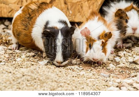 Spotted guinea pigs