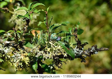 Blackthorn (Prunus spinosa) in fruit with lichen