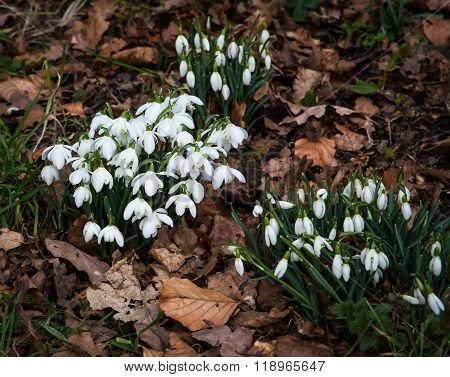 Common snowdrops (Galanthus nivalis) growing through golden leaves