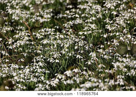 Carpet of Common snowdrops (Galanthus nivalis) heads bowed in the sun