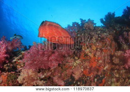 Coral Grouper fish underwater
