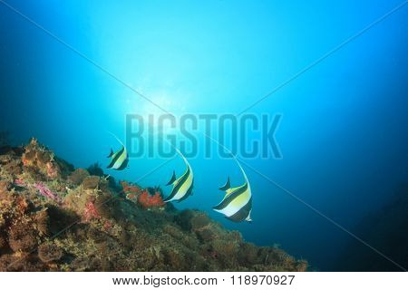 Coral reef and Moorish Idols fish
