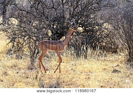 Gerenuks Gazelle In Africa