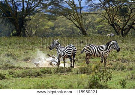 Zebra In The Savannah