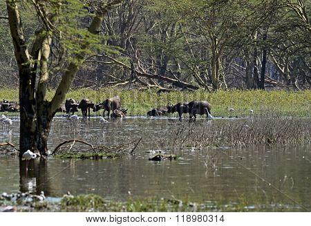 Buffaloes In The Savannah