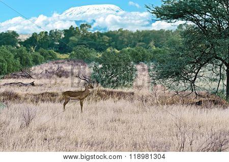 Gazelle Impala  In Savannah