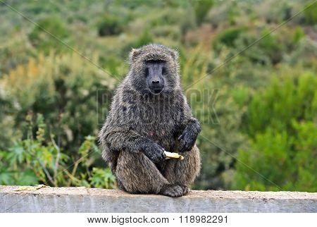 African Baboon In Kenya