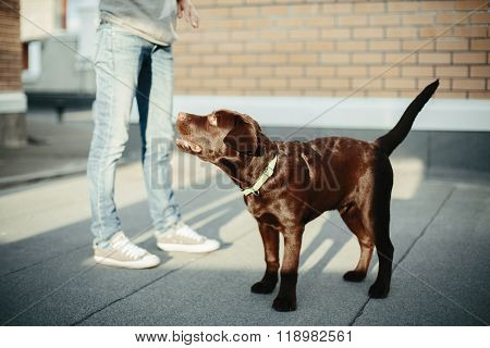 Chocolate Brown Labrador Retriever In The City