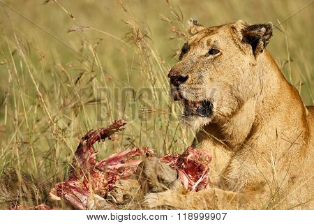Lioness While It Feeds