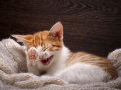 Funny cat laughing. Portrait of a laughing cat largly poster