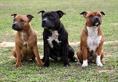 image of staffordshire-terrier  - three sitting purebred staffordshire bull terrier in a field - JPG