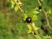 stock photo of belladonna  - the image shows a belladonna atropa branch - JPG