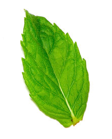 stock photo of mint leaf  - gorgeous green mint leaf isolated on white  - JPG