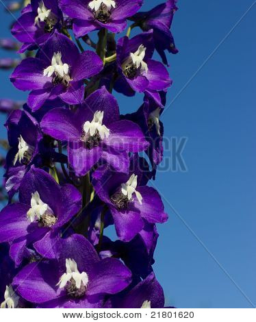 bright blue delphinium flower