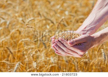 Farmer Hands Holding Ripe Wheat Corns