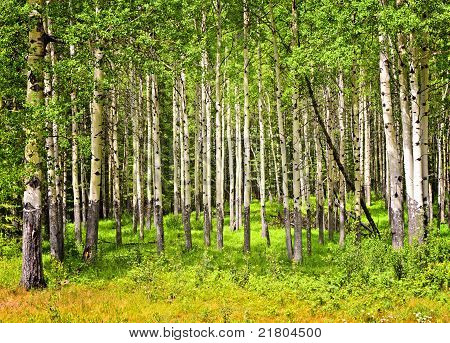 Aspen Trees In Banff National Park