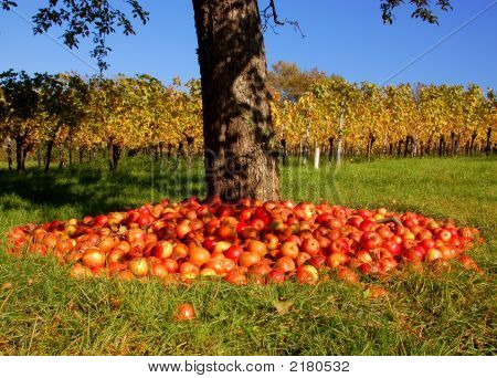 Apple Tree And Vineyard