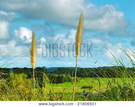 Reed grass with cloudy background