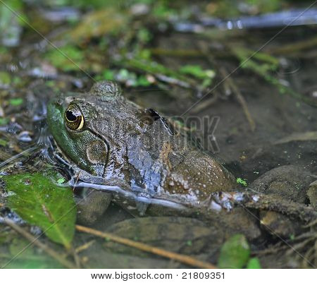 Swamp Frog