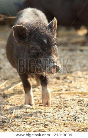 Berkshire Black Piglet at farm