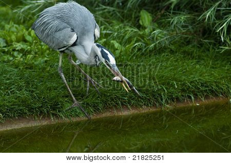 Gray Heron With Fish