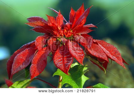 Big Island Poinsettia Glistens