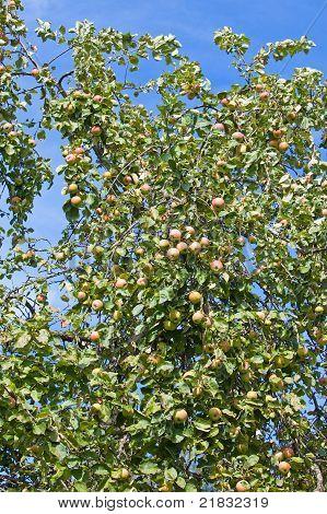 Äpfeln am Apfelbaum Filialen