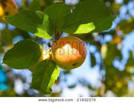 Apfel auf Apfel-Äste