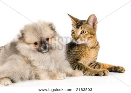 Kitten And The Puppy Of The Spitz-Dog