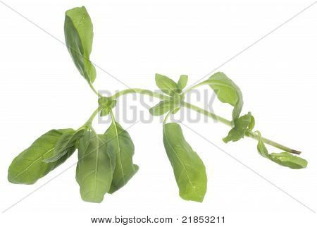 Wilted Basil