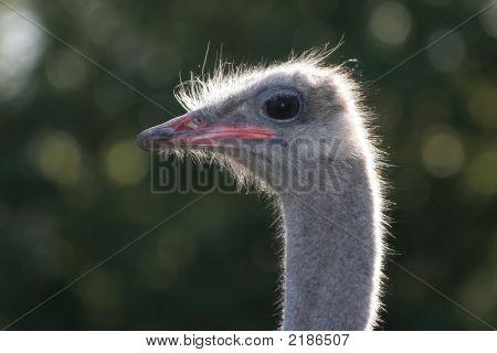 Ostrich  Backlit