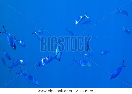 Fishes in Red Sea