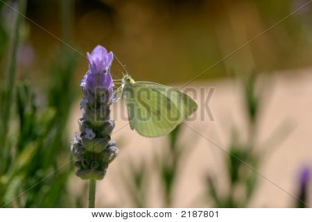 White Butterfly On Spanish Lavender