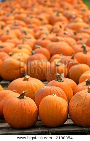 Pumpkins In A Rows