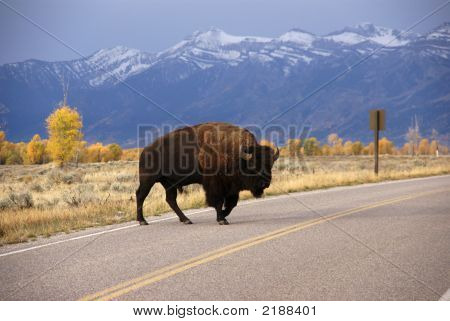 Single Bull Bison Walking