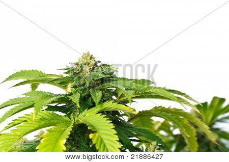 Marijuana Plant, Macro view of buds and leaves on white background