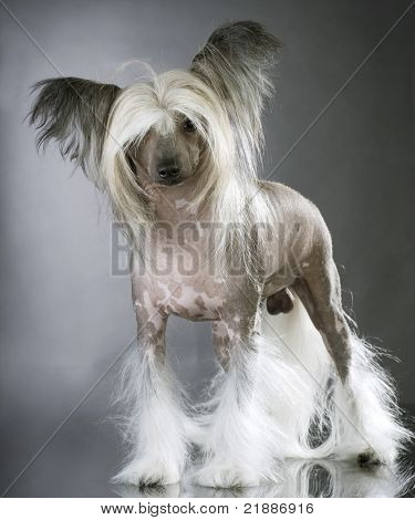 Lapdog. Chinese Crested purebred Dog