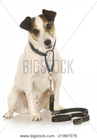 dog on a leash - jack russel terrier waiting to go for a walk on white background