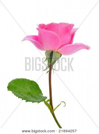 a pink rose on a white background