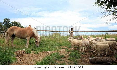Haflinger horse and Skudde sheeps.