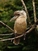 stock photo of kookaburra  - Portrait of a male Kookaburra perched on a branch - JPG