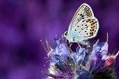 picture of blue butterfly  - butterfly  - JPG